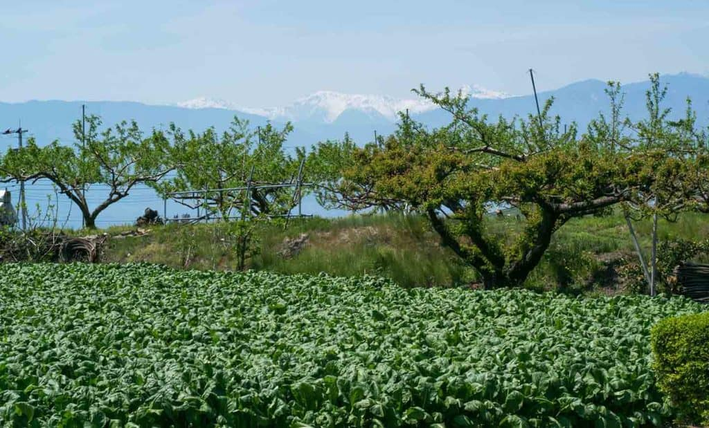 peach trees gardens mountains japan