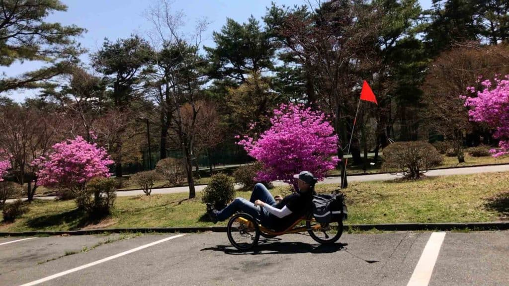 recumbent triking past sakura blossoms